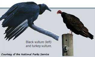 pictures of the black vulture and the turkey vulture